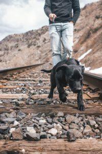 chien tire sur la laisse marche au pied 200x300 - Education canine: la marche au pied avec et sans laisse